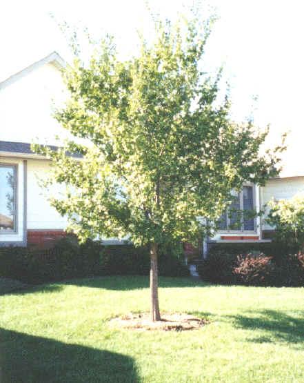 lacebark elm tree pictures. Lacebark Elm
